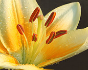 Asiatic Lilly Prints - Sunlit Splendor Print by Wendy Mallaber