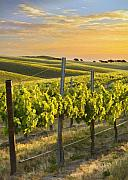 Vineyard Landscape Framed Prints - Sunlit Vineyard Framed Print by Sharon Foster