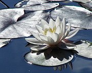 Nicola Butt - Sunlit Waterlily