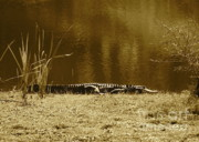 Florida Pond Photos - Sunning Gator by Carol Groenen