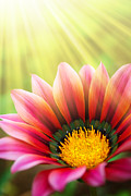 Sunlight Metal Prints - Sunny Daisy Metal Print by Carlos Caetano