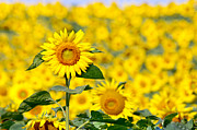 Wisconsin Wildflowers Prints - Sunny Disposition Print by Bill Pevlor