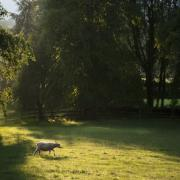 Sheep Prints - Sunny Evening Print by Angel  Tarantella