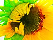 Sunflower Photograph Posters - Sunny Poster by Gwyn Newcombe