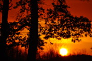 Sunsets Photos - Sunny Pine by Emily Stauring