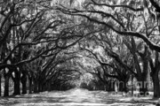Live Oaks Photos - Sunny Southern Day - Black and White by Carol Groenen