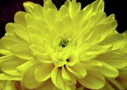 Floral Greeting Card Posters - Sunny Yellow Mum Poster by Dianne Liukkonen