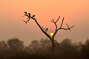 Peahen Posters - Sunrise at Bharatpur Poster by Fotosas Photography