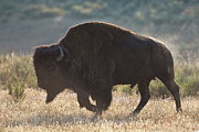 Bufffalo Photos - Sunrise Buffalo by D Robert Franz