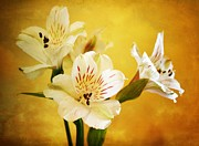 Lily Flowers - Sunrise by Cathie Tyler