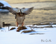 Wings Photos - Sunrise Duck Landing by Bob Orsillo