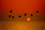 Geese Originals - Sunrise Flight by Steve Gadomski