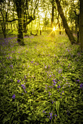 Sunrise In Bluebell Woods Print by Christopher and Amanda Elwell