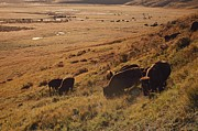 Bison Photos - Sunrise On Bison (bison Bison) Grazing On Hillside by Design Pics / David Ponton