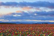 Woodburn Posters - Sunrise Over A Tulip Field At Wooden Poster by Craig Tuttle