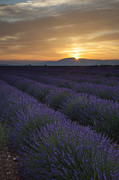 Aroma Framed Prints - Sunrise over Lavender Framed Print by Brian Jannsen