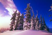 Snow-covered Landscape Art - Sunrise Over Snow-covered Pine Trees by Natural Selection Craig Tuttle