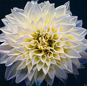 White Flower Paintings - Sunrise by Sharon Von Ibsch