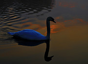 Pinion Art - Sunrise swan by Brian Stevens