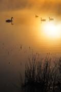 Sunrise Swim Print by Catherine Reusch  Daley