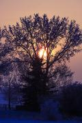 Snowy Evening Posters - Sunrise Through A Tree In Winter Poster by Richard Wear