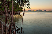 City Buildings Prints - Sunset at Miami behind wild mangrove forest Print by Matt Tilghman