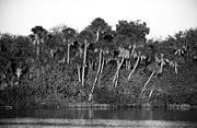 Mangroves Prints - Sunset Black and White Print by Rich Franco