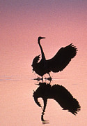Pics Of Birds Prints - Sunset Heron Print by Skip Willits