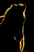 Stir Digital Art Prints - Sunset Horse Silhouette Canada Print by Mark Duffy