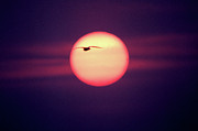 Flying Bird Metal Prints - Sunset Metal Print by John Foxx