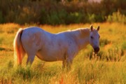 California Photo Originals - Sunset Mare by Gus McCrea