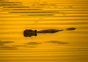 Sunset Muskrat Print by Brian Stevens