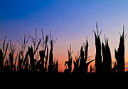 Cornfield Photos - Sunset over the Cornfield by Straublund Photography