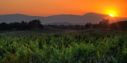 Vines Photos - Sunset over the Vineyard by Peter Tellone