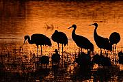 Crane Prints - Sunset Reflections Of Cranes And Geese Print by Max Allen