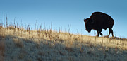 Bison Art - Sunset Ridge by John Blumenkamp