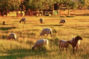 Pasture Scenes Digital Art Posters - Sunset Sheep Ranch Poster by Gus McCrea