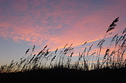Sea Oats Prints - Sunset  Print by Suzanne Gaff