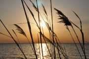 Dune Grass Posters - Sunset Through the Dune Grass Poster by Bill Cannon