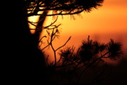 Sanna Jane Fase - Sunset through the Pine