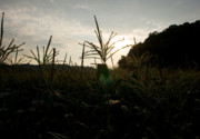 Sweet Corn Farm Prints - Sunset Print by Tim  Fitzwater