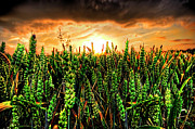 Wheat Framed Prints - Sunset Wheat Framed Print by Meirion Matthias