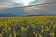 Wildflower Originals - Sunset with Butter and Eggs Flowers by Alan Lenk