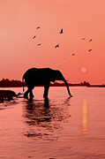 Elephant Drinking Framed Prints - Sunset with Elephant Framed Print by Christian Heeb