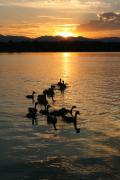 Quite Posters - Sunset with Geese Poster by Angie Wingerd