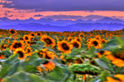 Loveland Photo Prints - Sunsets and Sunflowers Print by Scott Mahon