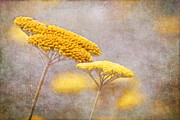 Margaret Hormann Bfa Framed Prints - Sunshine Achillea Framed Print by Margaret Hormann Bfa