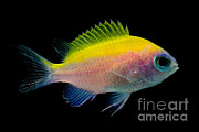 Reef Fish Posters - Sunshine Chromis Poster by Danté Fenolio