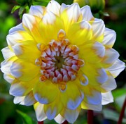 Dinner-plate Dahlia Prints - Sunshine Dahlia Print by Karen Wiles