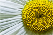 (c) 2010 Photo Prints - Sunshine Daisy Print by Ryan Kelly